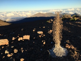 These silver swords only grow on the big island and the summit of Haleakala