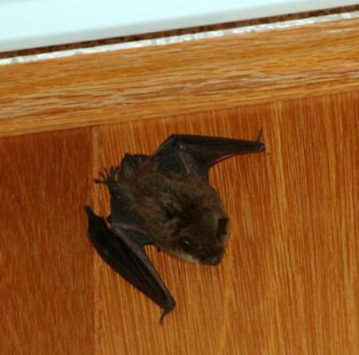 bat_on_wall_WEB_t670_456x450_405x400